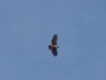 Hawk_friend